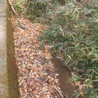 道路側溝の落ち葉