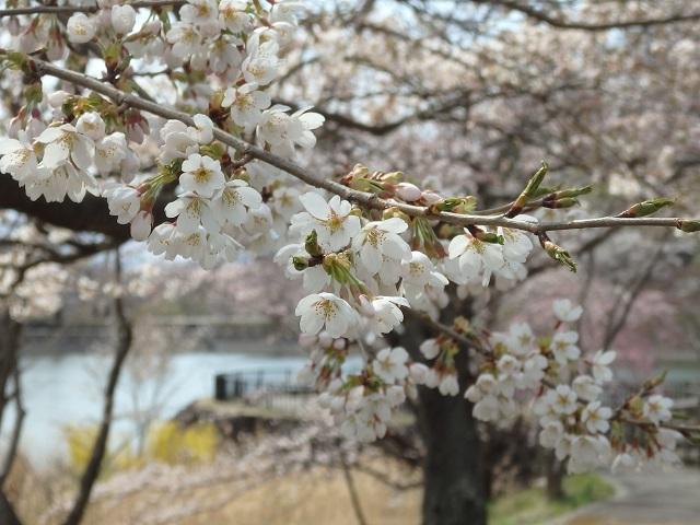 福島市渡利茶屋沼公園の桜